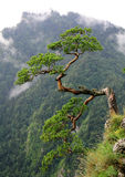 Old pine in Sokolica, Royalty Free Stock Photo