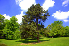Old pine tree. Large pine tree in a park against blue sky Royalty Free Stock Image