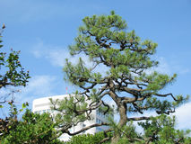 Old Pine tree against blue sky Stock Photos