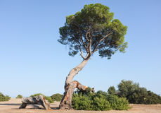 Old Pine Tree on Beach Landscape Stock Photography