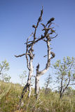 Old pine tree in bog Royalty Free Stock Image