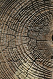 Old pine tree cut texture. Background Royalty Free Stock Photos