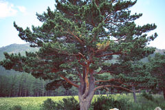 Old pine tree on the edge of the mountain forest Stock Photography