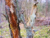 Old pine tree in forest with colorful harmony, textural relief o. Pine tree in forest with colorful harmony, textural relief of a fragment of an old tree Stock Image