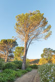 Old pine tree in a formal garden in Somerset-West. An old pine tree in a formal garden in Somerset-West in the Western Cape Province in South Africa Stock Photography