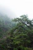 Old pine tree Royalty Free Stock Image
