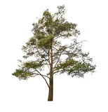 Old pine tree isolated on white Stock Image