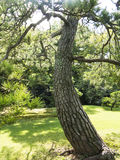 Old pine tree. In japanese garden stock images