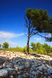 Old pine tree in provence royalty free stock image