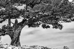 Old pine tree on rock. Black and white color landscape stock photos