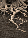 Old Pine Tree Roots Stock Image