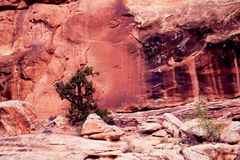Old pine tree seems to grow from bare rock. Old pine tree survives in the red rock desesrt of Capital Reef NP, Utah, USA Royalty Free Stock Image