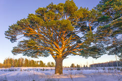 Old pine tree at sunset Royalty Free Stock Photos