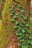 Old pine tree trunk. Old pine tree trunk covered with moss and other plants Stock Images
