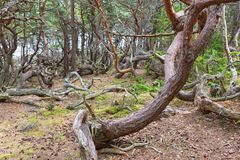 Old Pine tree woods Stock Images
