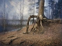 Old pine trees with bare, clumsy roots in a mystical foggy forest Stock Photography