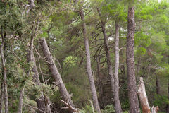 Old pine trees. Deep mediterranean forest with old pine trees on island Cres Royalty Free Stock Image