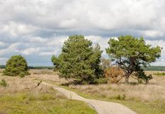 Old pine trees and heath grass beneath a bicycle way. Leading thorugh the national park ´de hoge veluwe´in Holland-the netherlands, near the city of arnheim Royalty Free Stock Photo