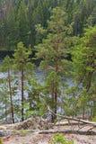 Old pine trees Stock Photo