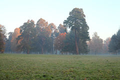 Old pine trees in the mist in the meadow Stock Photo