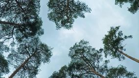 Old pine trees pinery sway in wind against sky. Trunks of trees swaying, hissing of wind in branches.