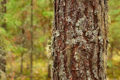 Old pine trunk Stock Images