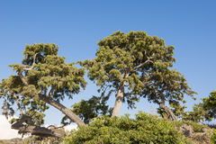 Old Pines Royalty Free Stock Photography
