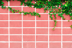 Old pink brick wall and wild grapes hanging down. Stock Image
