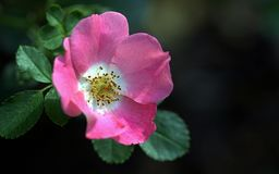 Old Pink Rose Flower. Old style single pink rose flower blooming with a green leafy background, selective focus Stock Photography