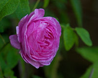 Old pink rose Royalty Free Stock Photography