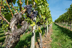 Old pinot noir grapes with rough bark. In a vineyard Stock Photos