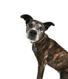 An old pit bull Stock Photo