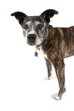 An old pit bull Stock Image