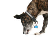 An old pit bull Stock Photography