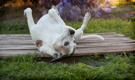 Old pitbull dog lays on back with feet up on wooden deck. Silly old pitbull dog, also known as an American Staffordshire Terrier, lays on her back with feet up Stock Images