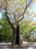 Old plane tree. An old plane tree with a big hollow in a park of Edessa town in Greece stock images