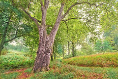 Old plane-tree in a colorful forest Royalty Free Stock Image