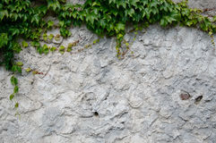 Old plaster with ivy Royalty Free Stock Image