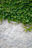 Old plaster with ivy Royalty Free Stock Photo