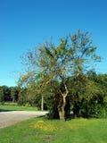 Old plum tree Stock Photography