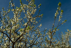 Old plum tree. Plum trees flower on May Stock Photos