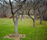 Old plum trees in an orchard Stock Photography