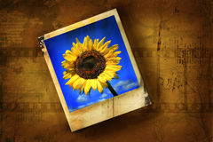 Old polaroid picture with sunflower Stock Photo
