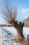 Old pollard willow tree in the snow. Old pollard willow tree at the edge of a snow-covered meadow Royalty Free Stock Image