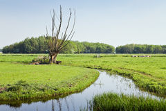 Old pollard-willows in Dutch country landcape Stock Photos