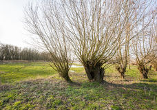 Old pollard willows in a row in a nature reserve Royalty Free Stock Photo