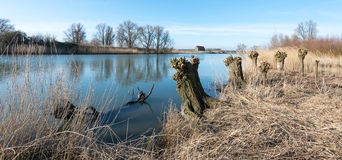 Old pollarded willows on the riverside Royalty Free Stock Photography
