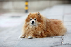 Old pomeranian Royalty Free Stock Photo