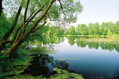 Old pond. The trees mirror at the old pond royalty free stock photography