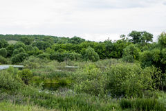 Old pond turned into swamps. Royalty Free Stock Photo